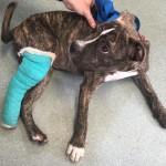 Liberty Humane Society hopes to raise $5k to operate on injured puppy