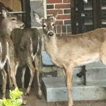 3 deer spotted near 74th Street and Boulevard East in North Bergen