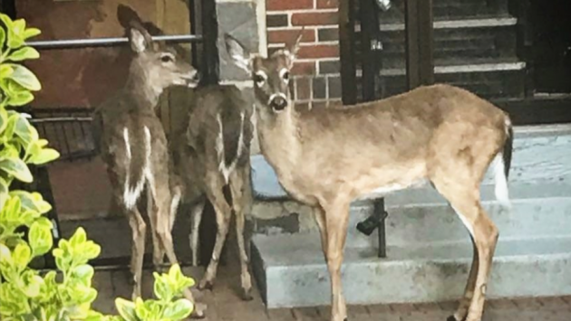 Three deer were spotted near 74th Street and John F. Kennedy Boulevard East in North Bergen yesterday. Photo via North Bergen police.
