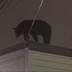 Police warn Harrison and Kearny residents of 'multiple sightings of a black bear'